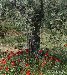 olivos y amapolas XVI (carlosjunquero) Tags: olivos amapolas
