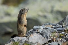 Marmotte des Alpes (Piau Engaly - Hautes Pyrenées 65) 21 mai 2017 (ÇhяḯṧtÖρнε) Tags: 12000s 400iso 500mm 65 canon f56 hautespyrénées marmotte marmottedesalpes piauengaly pyrenées