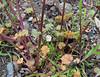 henbit (ophis) Tags: lamiales lamiaceae lamium lamiumamplexicaule henbit