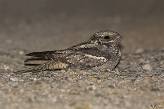 Noitibó-da-europa  -  European nightjar (Caprimulgus europaeus)