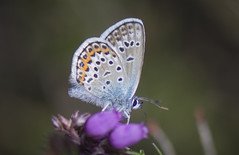 Silver-studded Blue Male (thegrolffalo) Tags: silverstuddedblue plebejusargus butterfly insect nature naturalhistory animal macro depthoffield nikond7200 105mm