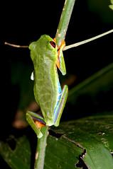 Agalychnis callidryas (Bigeyesworld.com) Tags: costarica centralamerica wildlife talamanca agalychnis callidryas hylids treefrog frogs amphibians