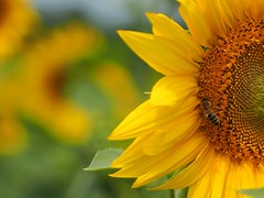 Half sunflower and a bee (Nikos Karatolos) Tags: nature flowers sunflowers samyang 50mm f12 yellow insects bees