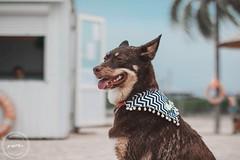 (irinamartynova) Tags: chocolatedog mydog pet dog