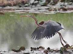 Purple Heron in flight (SivamDesign) Tags: canon eos 550d rebel t2i kiss x4 300mm tele canonef300mmf4lisusm kenko pro300 caf 14x teleplus dgx bird fauna heron purpleheron ardeapurpurea ardeapurpureamanilensis ardeidae chirakkalchira
