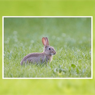 🍃Wild rabbit, England UK #wildrabbit #rabbit #ukmammals