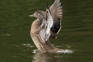 Wood Duck Hen fanning the air