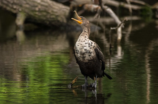 The Singing Cormorant
