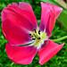 Tulipa 'Van Eyck'