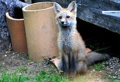 DSC_0701 (rachidH) Tags: fox renard vulpes foxcub renardeau redfox renardroux vulpesvulpes backyard frontyard wildlife sparta newjersey nj rachidh nature