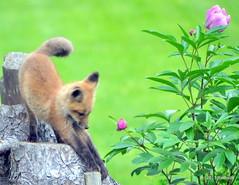 DSC_0717 (rachidH) Tags: fox renard vulpes foxcub renardeau redfox renardroux vulpesvulpes backyard frontyard wildlife sparta newjersey nj rachidh nature