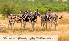 _DSC48941 copy (naturephotographywildlife) Tags: kruger wildlife scenery animals birdlife a99ii africa park zebra