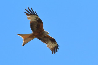 Red kite_MG_5392