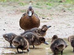 Pateke and ducklings - New Zealand Brown Teal (digitaltrails) Tags: pateke newzealandbrownteal anaschlorotis zealandia