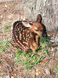 Bedded Fawn