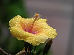 Hibisco-_5110043 (peruchojr) Tags: planta hibisco amarillo
