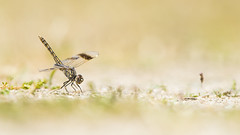 Bandgrondlibel (Brachythemis leucosticta) 1 c (look to see) Tags: libel dragonfly bandgrondlibel brachythemisleucostica spanje spain extremadura saucedilla lente spring 2017 bokeh bokehlicious