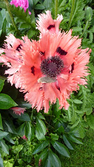 Poppies&Paeonies07 (MikeLane) Tags: uk england south sunshine spring summer hampshire flowers fleurs poppies paeonies pavots orientalpoppies garden alton