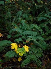 "Autumn foliage and ferns • <a style=""font-size:0.8em;"" href=""http://www.flickr.com/photos/44919156@N00/34662883991/"" target=""_blank"">View on Flickr</a>"
