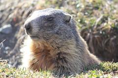 Marmotta (MPandolfini) Tags: marmotte animaliselvatici montagna animals mountains marmots santacaterinavalfurva ghiacciaioforni