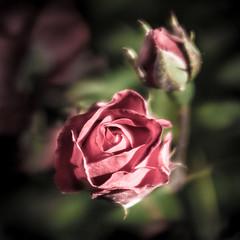 Rose (Paolo-Do) Tags: rose fiori rosa primavera amore romantica