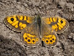 Wall (Roger B.) Tags: churchyard highbradfield lasiommatamegera butterfly wallbrown sheffield southyorkshire unitedkingdom gbr