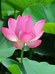 pink lotus (oneroadlucky) Tags: nature plant flower pink lotus waterlily green