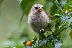 Groud Finch eats Berry - Galapagos (CapMarcel) Tags: groud finch eats berry galapagos