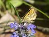Gelbwürfeliger Dickkopf , NGID47627133 (naturgucker.de) Tags: ngid47627133 naturguckerde gelbwürfeligerdickkopffaltercarterocephaluspalaemon weinstadt mühlhöfle cvolkerherdtle