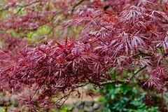 Japanese Maple (kenziebaker) Tags: japenese maple tree red oregon ashland canon park nature naturephotography