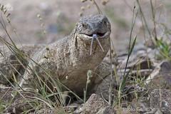 Varano delle rocce (Varanus albigularis), White-throated Rock Monitor (paolo.gislimberti) Tags: namibia animali animals rettili reptiles comportamentoanimale animalbehavior natura nature fotografianaturalistica naturephotography wildlife africanreptiles nikonflickraward