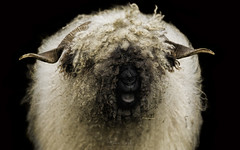 The Tongue Can Paint What The Eye Can't See (Adam West Photography) Tags: adamwest animal blackface closeup cute eye funny fur horns humor humour nise portrait sheep swiss tongue valais