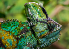 napping chameleon (Pejasar) Tags: normanpublicschools fieldtrip oklahomacityzoo may riversclass 2017 chameleon lizard reptile colorful