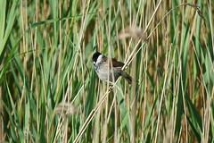 Bruant des roseaux (mâle) (.Steph) Tags: bruant roseaux reed bunting oiseau bird etang pond eau water nature