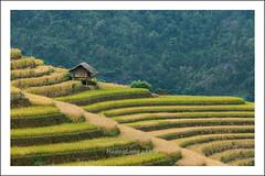 _MG_9964.La Pán Tẩn.Mù Cang Chải.Yên Bái (hoanglongphoto) Tags: asia asian vietnam northvietnam northwestvietnam landscape scenery vietnamlandscape vietnamscenery vietnamscene terraces terracedfields terracedfieldsinvietnam harvest hill hillside house gettyimage canon canoneos5dmarkii tâybắc yênbái mùcangchải lapántẩn phongcảnh ruộngbậcthang ruộngbậcthangmùcangchải lúachín mùagặt mùagặtmùcangchải mùcangchảimùalúachín ngọnđồi sườnđồi ngôinhà nhà flanksmountain sườnnúi canonef70200mmf28lisiiusmlens mùcangchảimùagặt