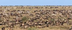 Found the Wildebeest! (tkfranzen) Tags: wildebeest wildebeestmigration zebras africansafari africanwildlife ndutu ngorongoroconservationarea serengetiplains wildlifephotography naturephotography tnclivenature animalplanet