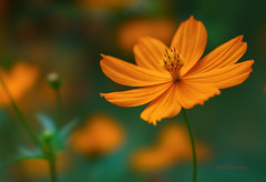 flower (sandilesmana28) Tags: sony gm 100 28 stf bokeh blur dof orange light nature available a7mii lighting