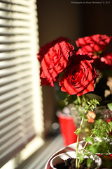 Roses in the Morning Sun (Bryce Womeldurf) Tags: roses flowers morningsun diffusedlight shades shadow valentinesday