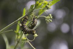 Gusano de ceda (lauralatorre90) Tags: gusano ceda worm silk insect nature