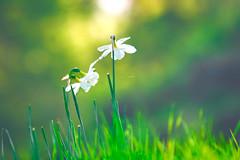 Solace (Ans van de Sluis) Tags: flower macro soft softness ansvandesluis green bokeh bokehlicious flora floral