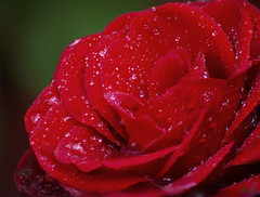 Project 365; #152 (EXPLORED) (iMalik1) Tags: project 365 days photo day challenge potd macro close up rose red water drops droplets droplet rain depth field bokeh dof garden gardening flower plant ealing photographer imalik photography canon eos 600d focus stacking image