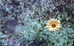 2lomo1az044 (animalaminal) Tags: africandaisy daisy orange flower spring springtime arizona az green color colors film filmphotography analog minolta lomography lomo surreal dreamy nature desert wildflower wildflowers
