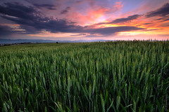 Growing higher and higher (jo.haeringer) Tags: sunset barley sky clouds nature fields corn wheat leefilter fuji xt2 landscape gnd09 growing