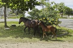 O_Potrinho_02 (Parchen) Tags: potro potrinho cavalo praia rua filhote equus equuscaballus nomecientífico cavalosderua soltos livres foto fotografia imagem registro parchen carlosparchen