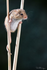 Stilt Walker (DanRansley) Tags: britain danransleyphotography england greatbritain micromysminutus uk animal harvestmouse mammal nature rodent wildlife furry cute