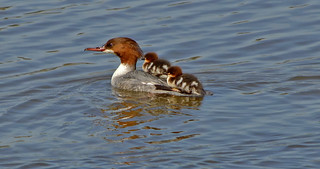 Goosander with the ducklings... Beautiful spring