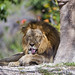 Lion resting with funny tongue