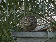 Coruja (jailsonrs) Tags: coruja owl motozplay