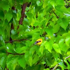 YFinchDSCN6756 (dodochampo) Tags: bird goldfinch oiseau chardonneret yellow
