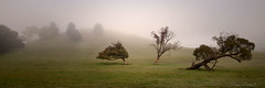 Larry Curly and Mo (Aurorajane) Tags: trees plants growth leaves trunks windblown fallen sparse funny foggy hill scene landscape vista outdoors country rural nsw land space lifestyle